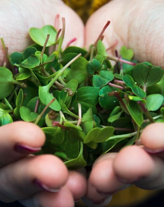 piante raccolte con coltivazione acquaponica