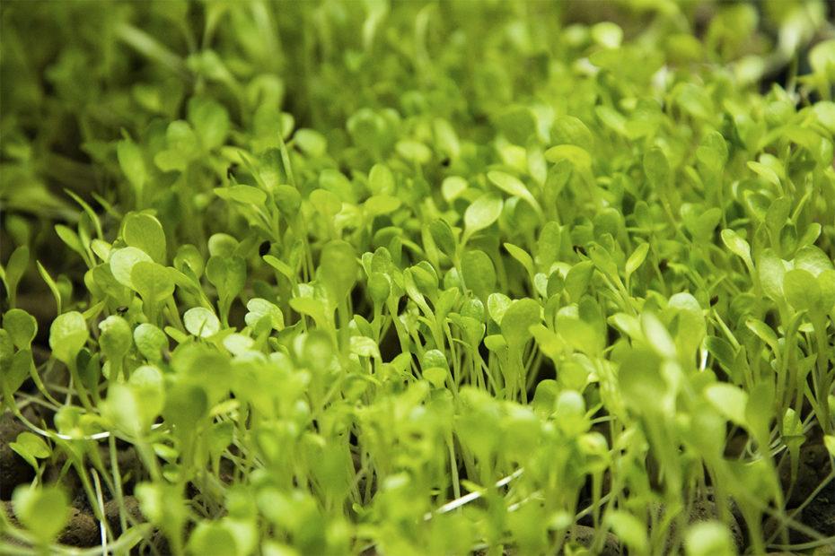 coltivazione di microgreens