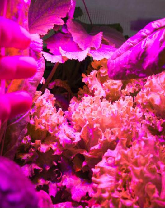 lattuga coltivata in acquaponica