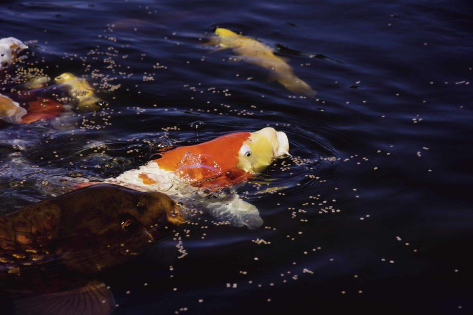 pesci in vasca acquaponica