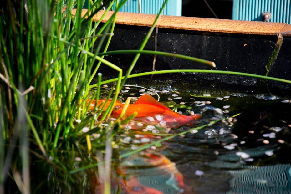 come-allevare-pesci-rossi