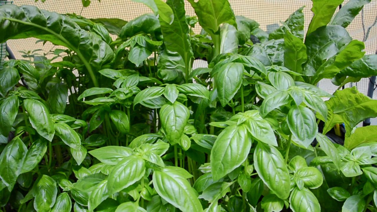 coltivare-basilico-in-acquaponica