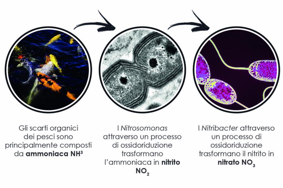 batteri nitrificanti